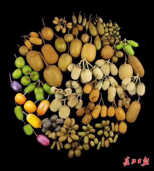 """芥末味、辣椒味的猕猴桃? 中科院武汉植物园种出高端水果""""金桃"""""""